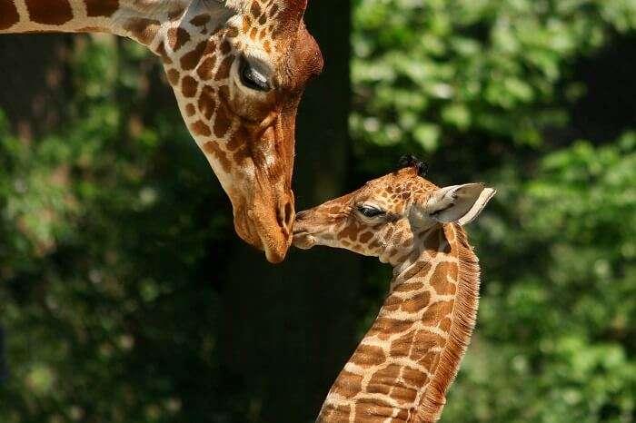 Meet giraffes & camels at the Amsterdam Zoo