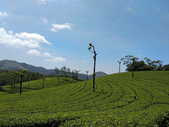Tea Plantation 2 Munnar
