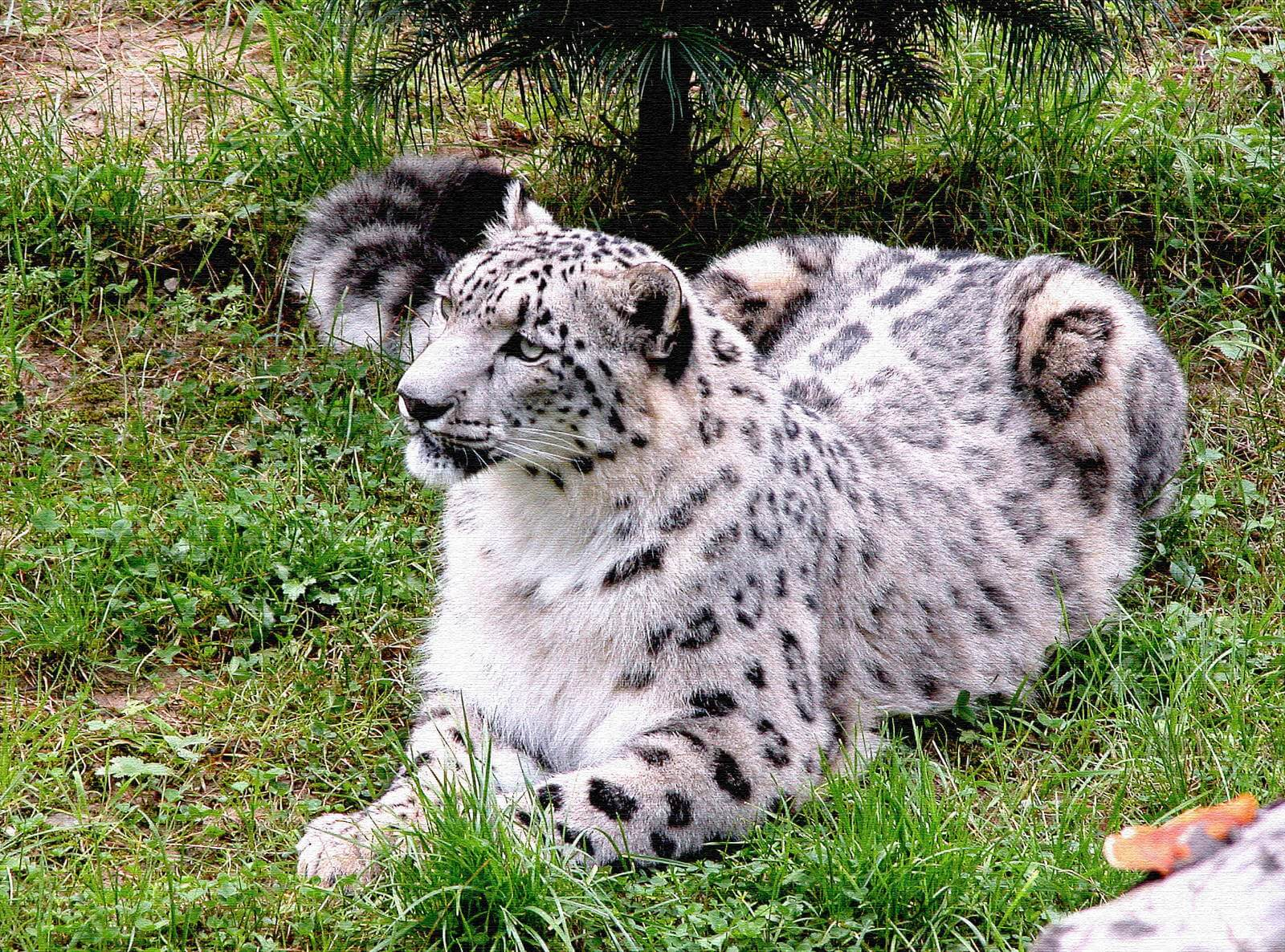 snow leopard in a park
