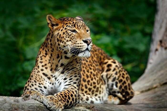 https://assets.traveltriangle.com/blog/wp-content/uploads/2017/12/leopard-in-sultanpur-bird-sanctuary.jpg