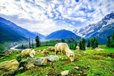 sheep grazing in mountains of Kashmir