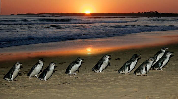 Penguins On Phillip Island