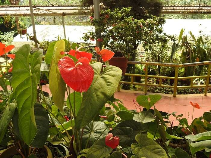 rose garden in munnar