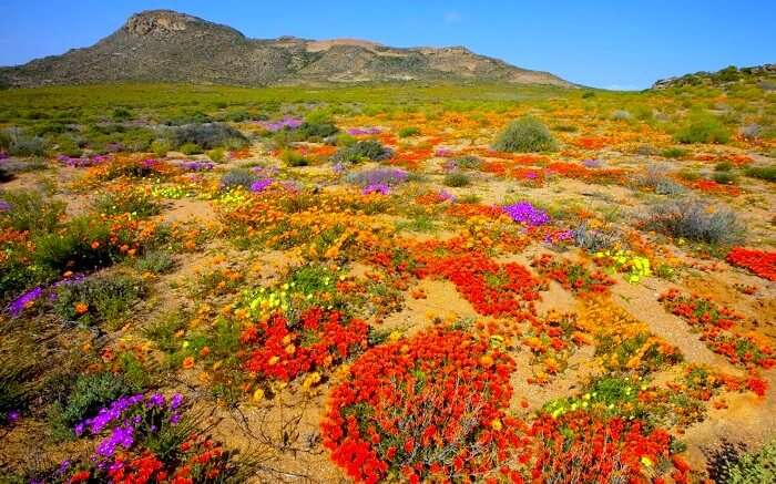 Wildflower Bloom In South Africa