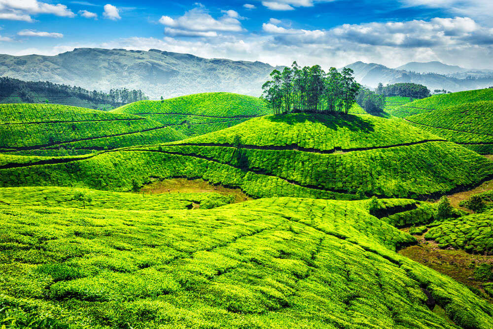 the gorgeous tea plantations of Munnar