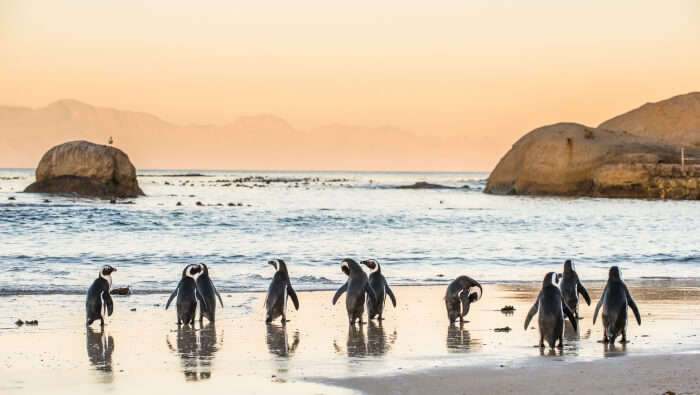 penguins in Boulders Beach in South Africa