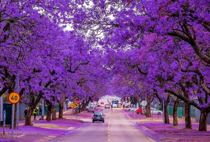 Jacaranda trees in Pretoria