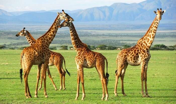 Giraffes at Serengeti National Park Tanzania