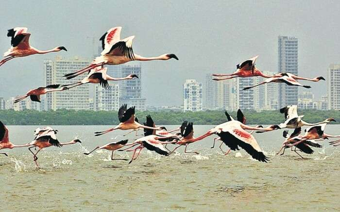 acj-0702-flamingo-sanctuary-mumbai