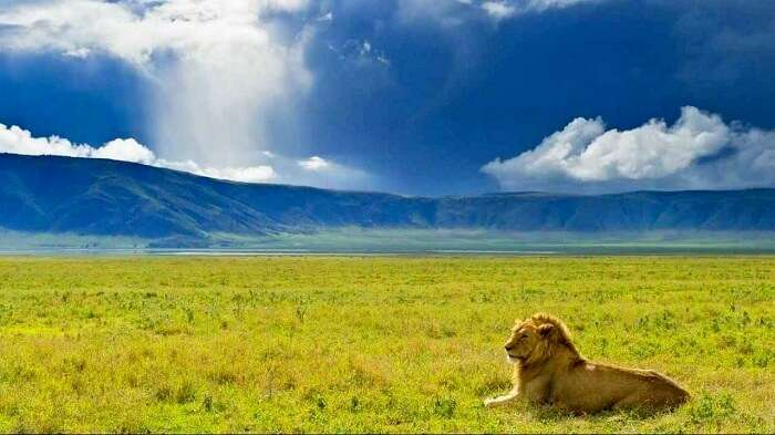 Lion at ngorongoro national park Tanzania