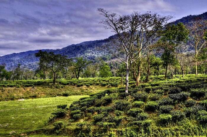 famous tea garden estate in assam