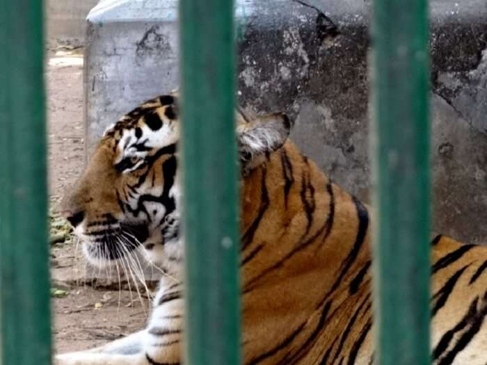 Tiger in Thrissur zoo
