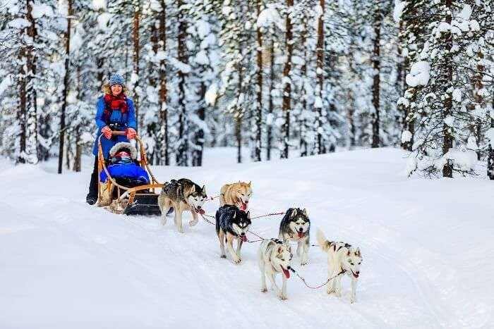 finland sleigh dogs