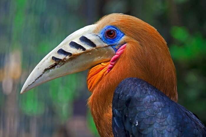 Nameri National Park assam Rufous necked hornbill