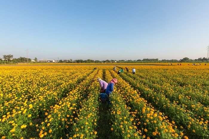 Romantic stroll in Marigold fields