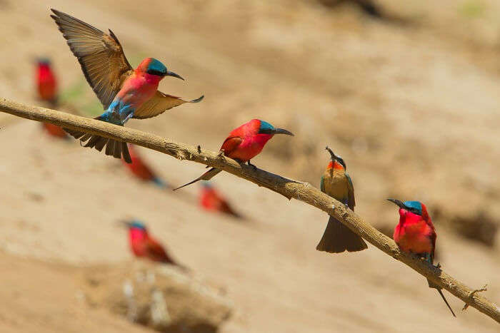carmine bee eaters Manas National Park assam