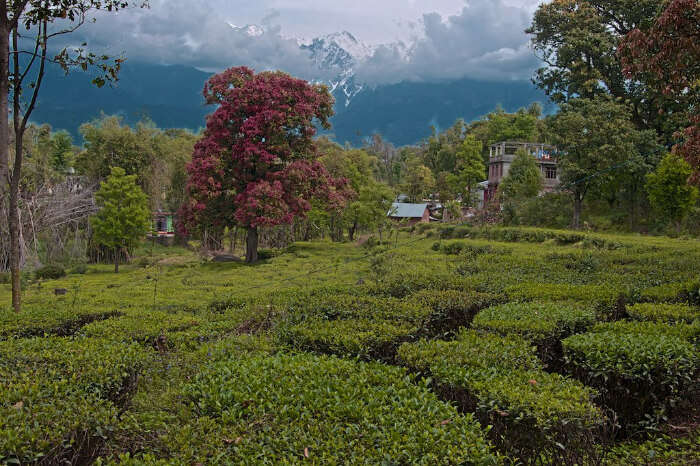 beautiful tea plantations