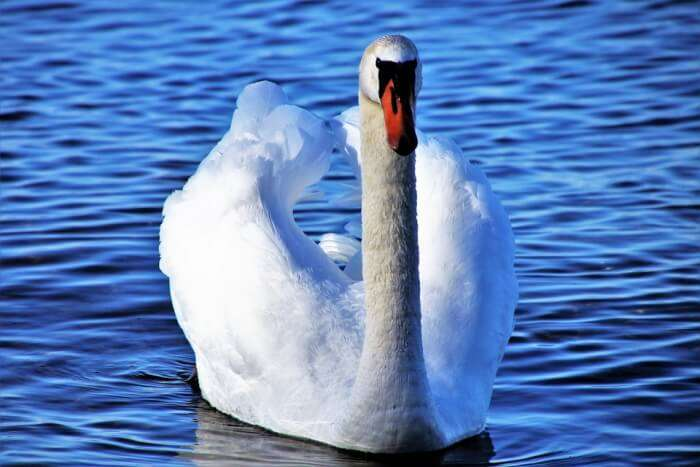 Swan on a lake in Switzerland