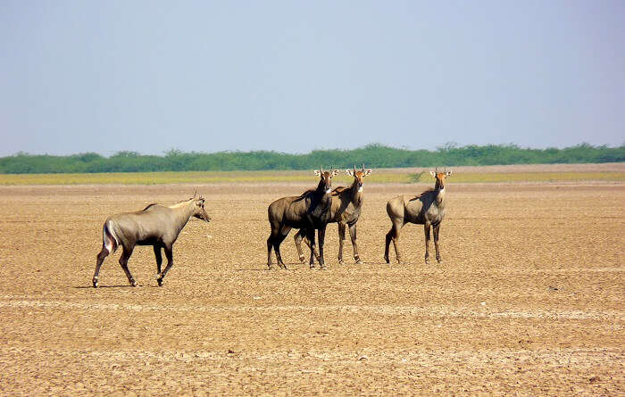 Kutch Desert Wildlife Sanctuary