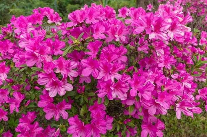 Rhododendron, flowers, Flora, Kanchenjunga