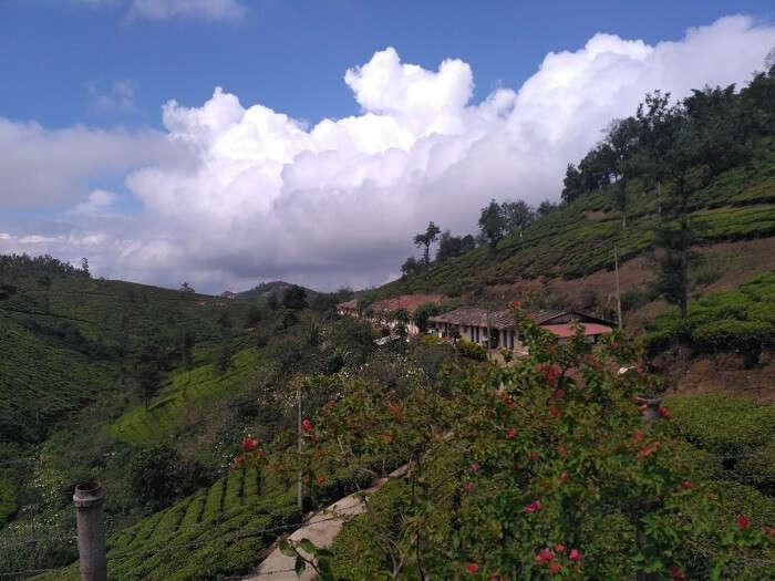 Tea plantations in Thekkady