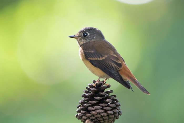 Flycatcher birds species at Kanchenjunga
