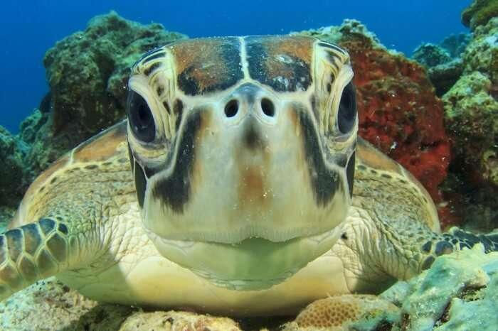 Sea Turtle, Marine life, Hamilton Island, Australia,
