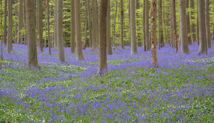 Bluebells at the Hallerbos