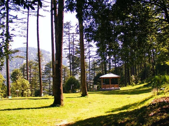 forest in dhanaulti