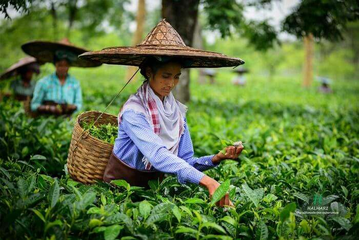 Women plucking tea leaves