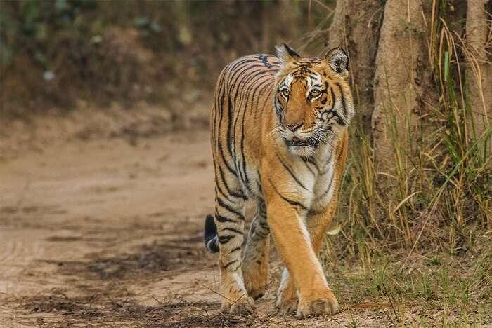 Lebua Corbett tiger