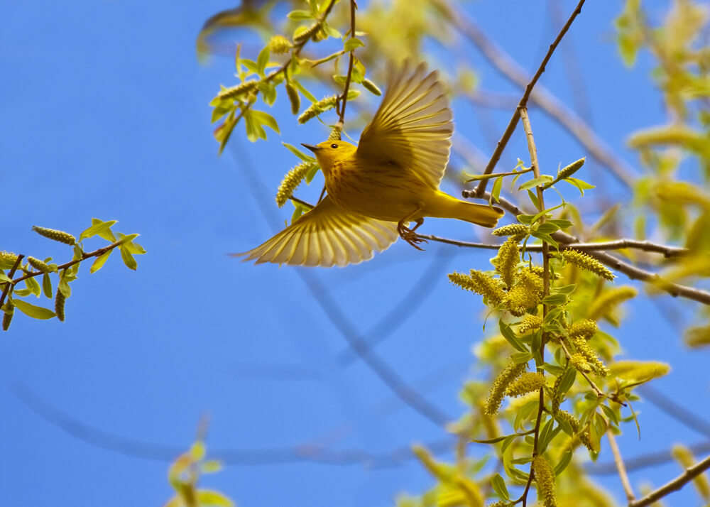 a yellow bird in Point Pelee National Park