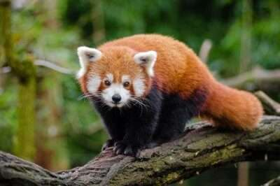 red panda in national park of sikkim