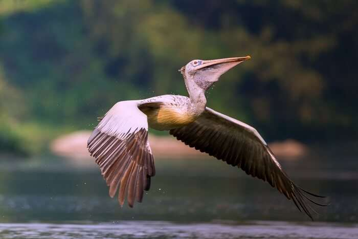 Spot-Billed Pelican at Prek Toal Bird Sanctuary Siem reap