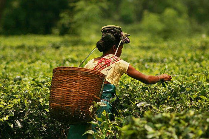 Women plucking tea leaves