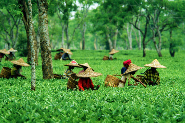 Women working in tea estate