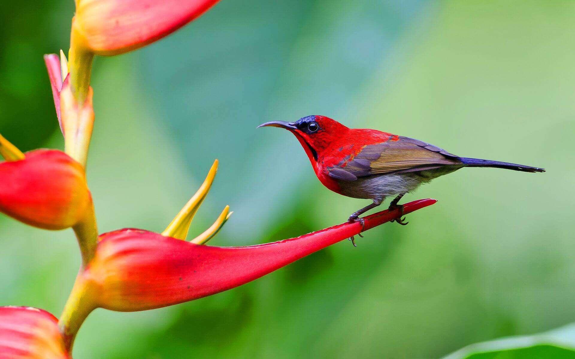 a gorgeous Crimson Sunbird sitting on flower