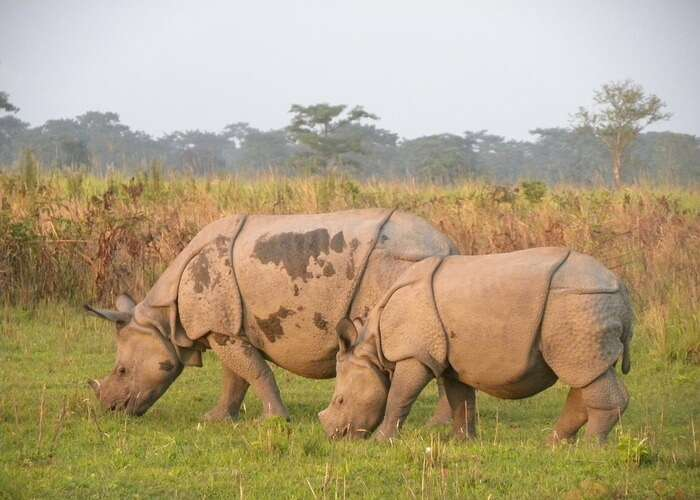 rhinos grazing in field