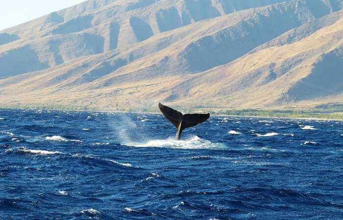 Humpback Whale-Watching On Maui