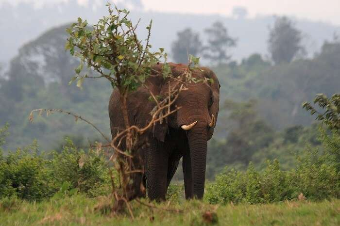 African_elephant_in_Aberdare_NP