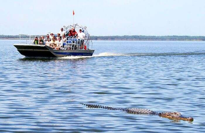 Alligators during an airboat tour