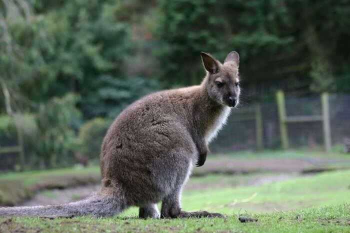a fat kangaroo