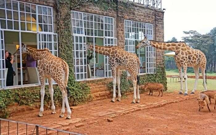 acj-3005-giraaffe-manor-kenya (2)