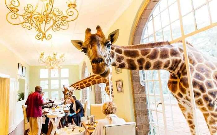 acj-3005-giraaffe-manor-kenya (4)
