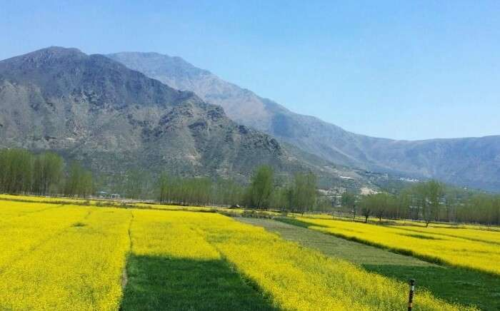 Saffron farms Kashmir