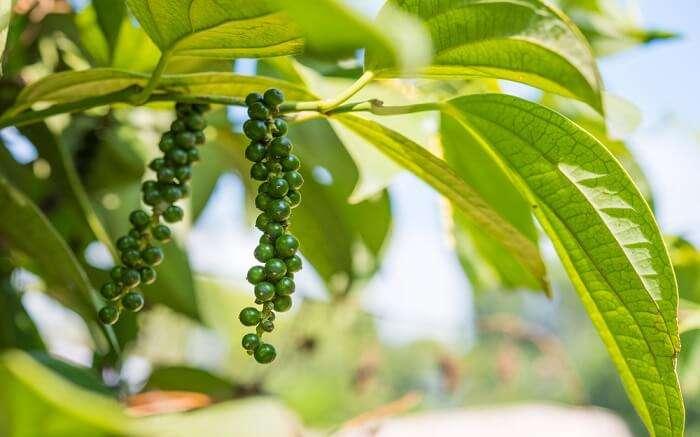 black pepper on tree