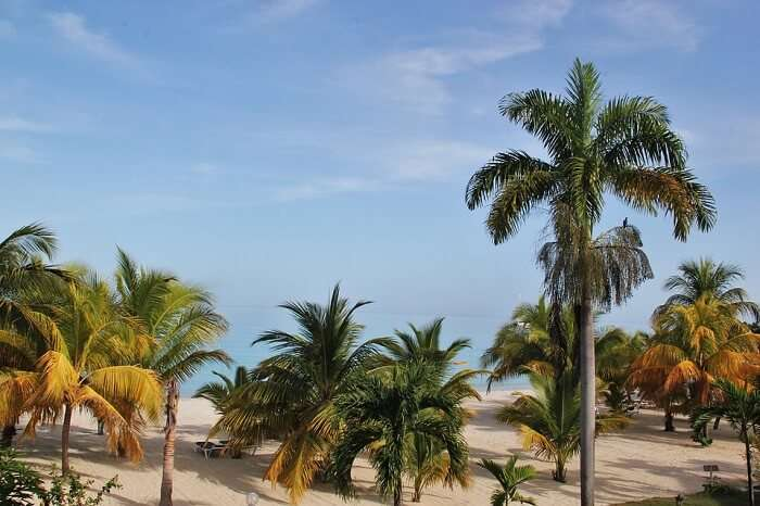 Jamaica Beach Paradise Typical Jamaican Palm Trees