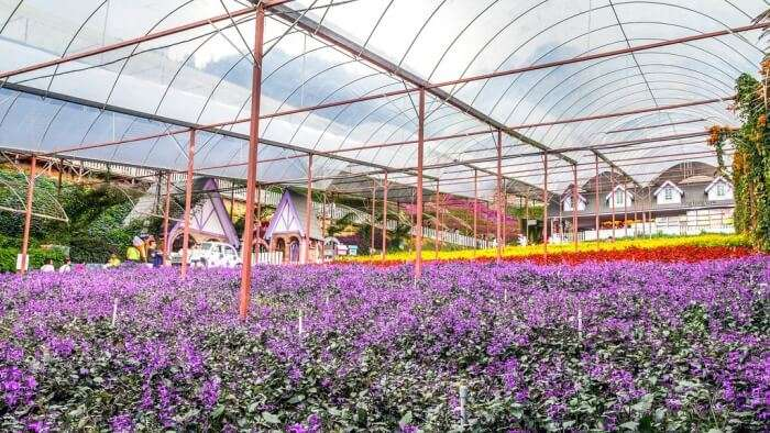 lavender garden in cameron highlands