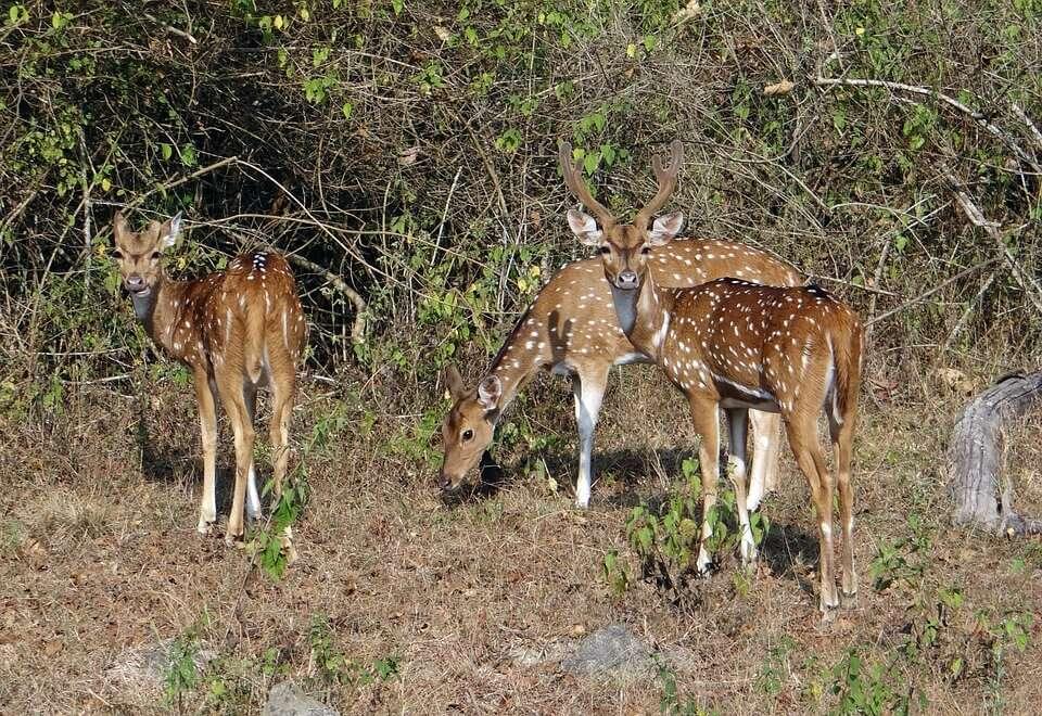 spotted-deer-597421_960_720