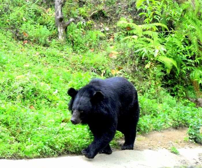 Himalayan Black Bear Walking